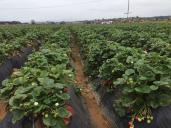 カールスバッド イチゴ畑 - Carlsbad Strawberry Company